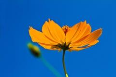 Cosmos flowers with blue sky background. Orange cosmos flower backlit with sky blue background Stock Photo