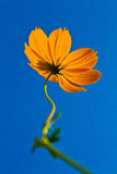 Cosmos flowers with blue sky background. Orange cosmos flower backlit with sky blue background Stock Photos