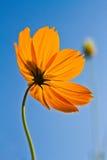 Cosmos flowers with blue sky background. Orange cosmos flower backlit with sky blue background Royalty Free Stock Photo