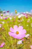 Cosmos flowers on blue sky background Stock Photos