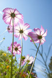 Cosmos flowers  with bluesky Stock Image