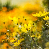 Cosmos flowers with bokeh Stock Images