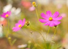 Cosmos flowers (chrysanthemum) Royalty Free Stock Photography