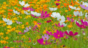 Cosmos flowers close up Stock Images