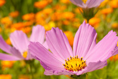 Cosmos flowers close up Royalty Free Stock Photos