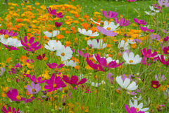 Cosmos flowers close up Stock Image