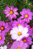 Cosmos flowers. The close-up of pink and white Cosmos flowers. Scientific name:Cosmos bipinnata Stock Photos
