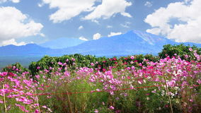 Cosmos flowers clouds moving beautiful. stock video