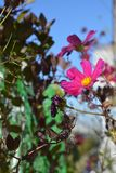 Cosmos flowers and cobaea leaves. Small urban garden on the balcony in sunny day.  royalty free stock photography