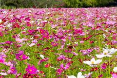 Cosmos flowers in a colorful field. Stock Photo