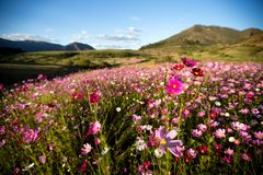 Cosmos flowers colours. Fields of Cosmos flowers appear on the highlands of South Africa and Lesotho in autumn. Hills of colour come alive, white, pink, purple stock photos