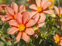 Cosmos flowers (Cosmos Bipinnatus) in the garden Royalty Free Stock Photography