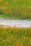 Cosmos flowers and dirt road Royalty Free Stock Photo
