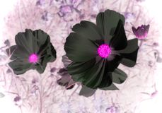 Cosmos flowers. A false color image of white cosmos flowers stock images