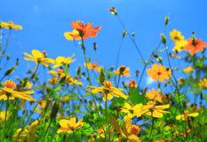 Cosmos flowers field Royalty Free Stock Photography