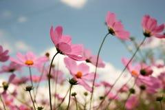 Cosmos flowers. Field stock photos
