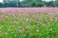Cosmos flowers field. Beautiful Pink Cosmos flowers field in the farm Stock Photography