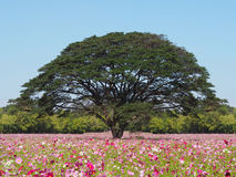 Cosmos flowers field and big tree Stock Photo