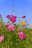 Cosmos flowers field in Boon Rawd Farm Stock Photos