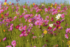 Cosmos flowers field in Boon Rawd Farm Stock Images