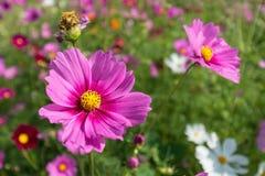 Cosmos flowers field in Boon Rawd Farm, Thailand Stock Photos