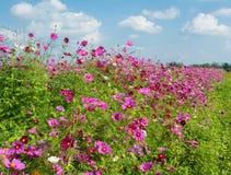 Cosmos flowers field in Boon Rawd Farm, Thailand Royalty Free Stock Photos