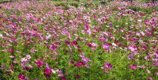 Cosmos flowers field in Boon Rawd Farm, Thailand Stock Photo