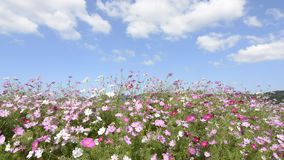 Cosmos flowers field and clouds stock video footage