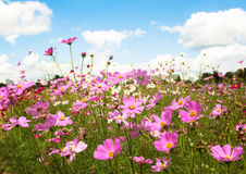 Cosmos Flowers Royalty Free Stock Image
