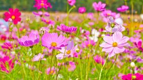 Cosmos flowers in the field. royalty free stock image