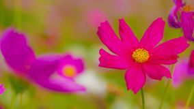 Cosmos flowers in the field. stock photography