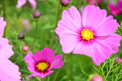 Cosmos Flowers Field at Countryside Nakornratchasrima Thailand Royalty Free Stock Photo