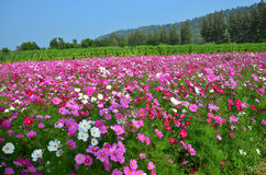 Cosmos Flowers Field at Countryside Nakornratchasrima Thailand Royalty Free Stock Photography