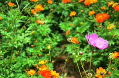 Cosmos Flowers Field at Countryside Nakornratchasrima Thailand Royalty Free Stock Image