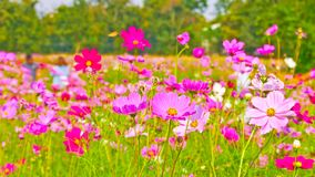 Cosmos flowers in the field. royalty free stock photo
