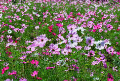 Cosmos flowers field Royalty Free Stock Image