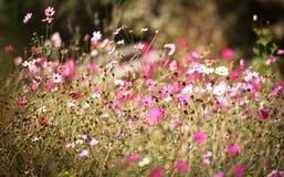 Cosmos flowers field. In the Flower garden stock image