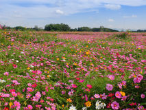 Cosmos flowers field stock photo