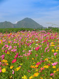 Cosmos flowers field Stock Photography