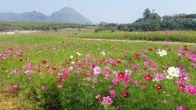 Cosmos Flowers Field in public garen ,Thailand Stock Photos