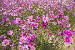 Cosmos flowers fields Stock Images