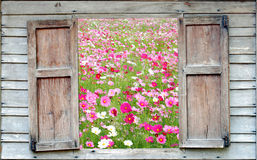 Cosmos flowers fields Royalty Free Stock Image