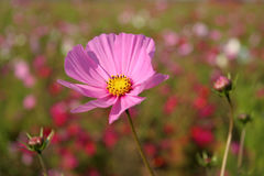 Cosmos flowers in France #4 Stock Images