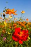 Cosmos Flowers Garden Royalty Free Stock Image