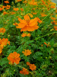 Cosmos flowers. In the garden royalty free stock photos