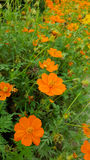 Cosmos flowers. In the garden royalty free stock image