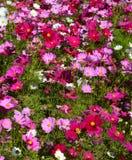 Cosmos flowers Stock Photos