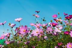 Cosmos flowers in the garden Stock Photo