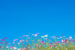 Cosmos flowers in the garden on blue sky Stock Image