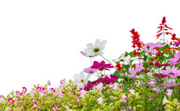 Cosmos flowers in the garden Royalty Free Stock Image